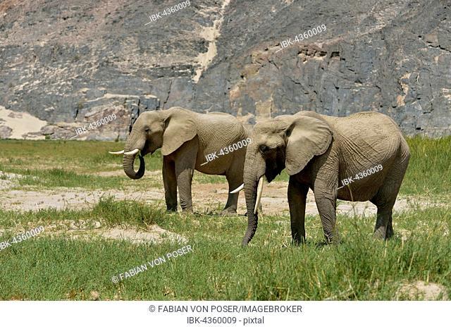Desert elephant or African elephants (Loxodonta africana), dry riverbed of Hoarusib, Skeleton Coast National Park, Kaokoveld, Kunene Region, Namibia