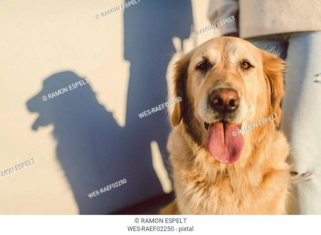 Golden retriever portrait with woman at a wall