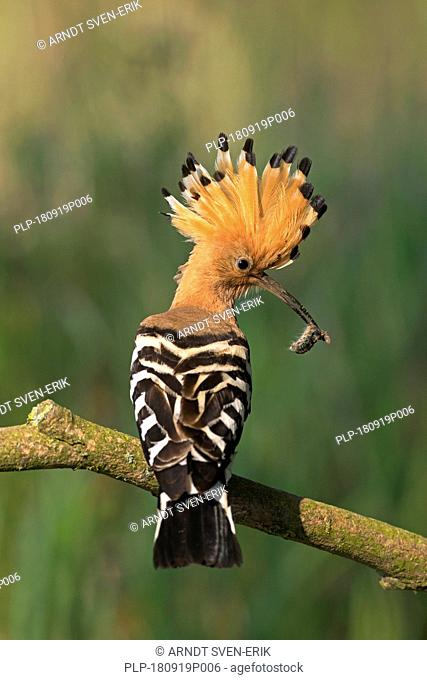 Eurasian hoopoe (Upupa epops) with erected crest feathers perched on branch with caught caterpillar prey in beak