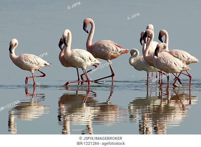 Lesser flamingos (Phoenicopterus minor), courtship display, Lake Nakuru, Kenya, Africa