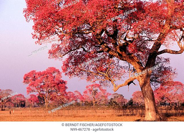 Rose trumpet trees in flower. Dry pasture with trees. Type of landscape like Savannah or park. Pantanal near Pocone. Mato Grosso. Brazil