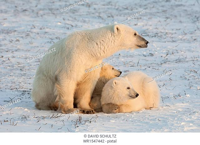 A polar bear family, one adult and two cubs in the wild, on a snowfield at sunset