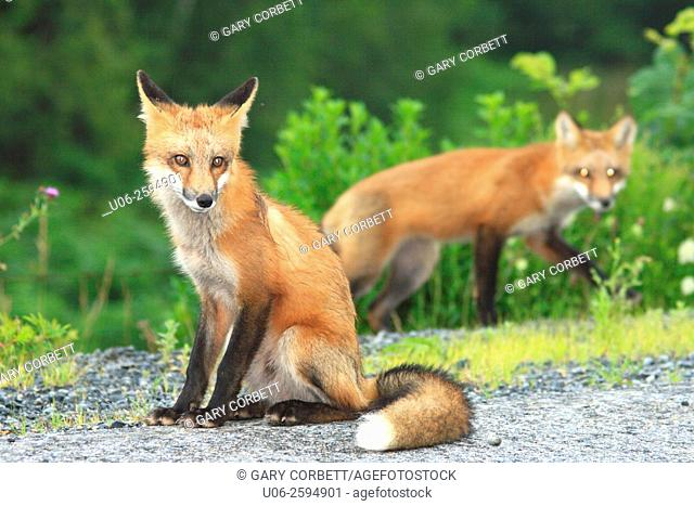 Two red foxes on a field
