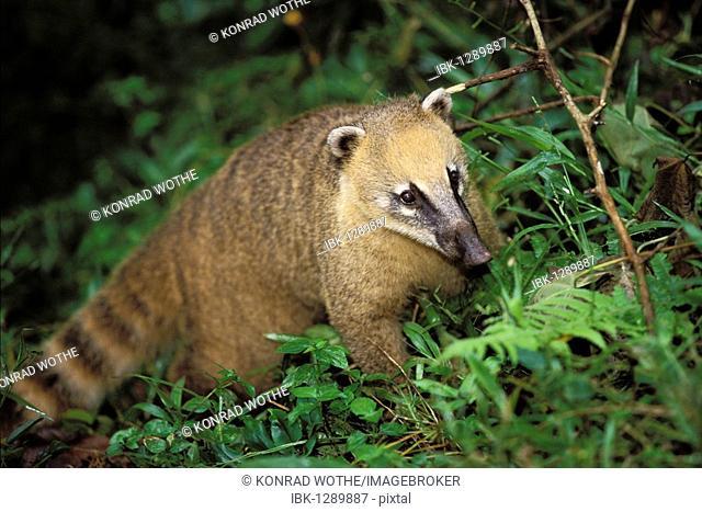 Coati (Nasua nasua), Iguassu National Park, Brazil, South America
