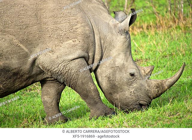 White Rinhoceros, Ceratotherium simum, Sabi Sand Game Reserve, Kruger National Park, Mpumalanga, South Africa, Africa