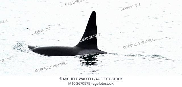 CA-199 Male transient Orca (Killer Whale)