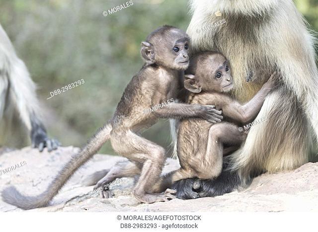 Asia, India, Rajasthan, Ranthambore National Park, Northern plains gray langur or Hanuman Langur (Semnopithecus entellus), mother and baby