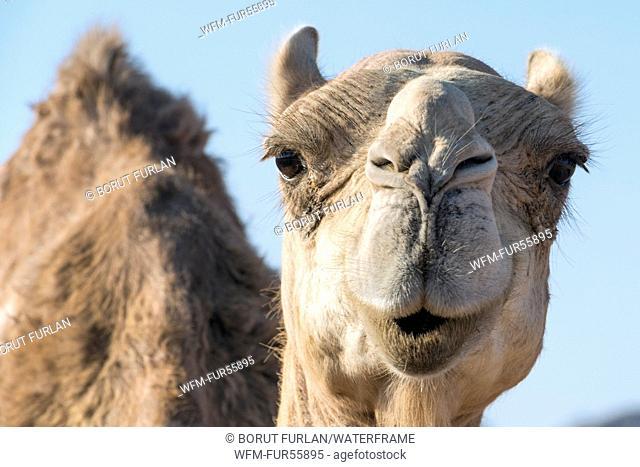 Dromedary Camel in Ras Muhammad National Park, Camelus dromedarius, Sinai, Egypt