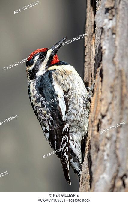 Yellow-bellied Sapsucker, Sphyrapicus varius, a mid-sized woodpecker, Beaudry Provincial Park, Manitoba, Canada
