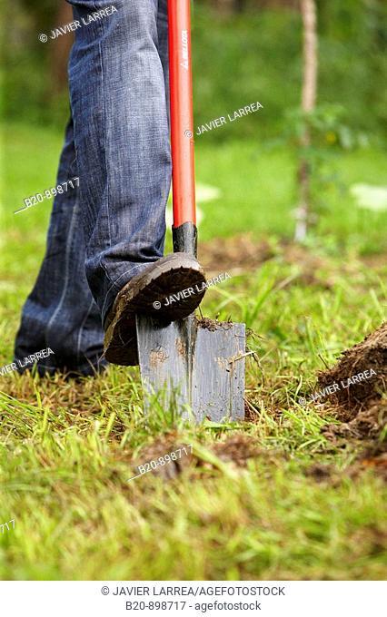 Farmer digging with spade, hand tool, farming, Guipuzcoa, Basque Country, Spain