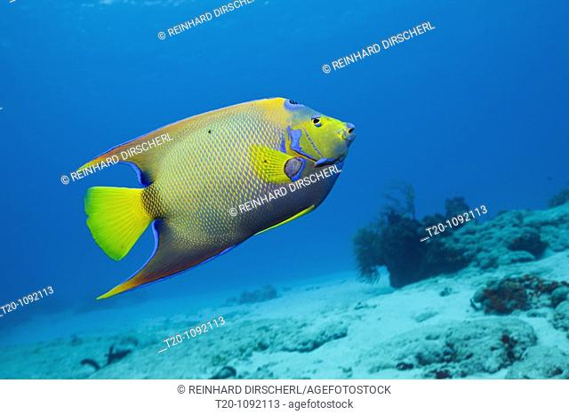 Queen Angelfish, Holacanthus ciliaris, Cozumel, Caribbean Sea, Mexico