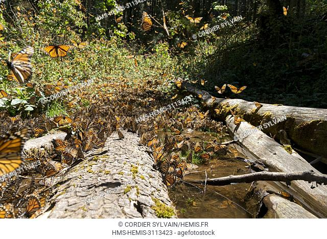 Mexico, State of Michoacan, Angangueo, Monarch Butterfly Biosphere Reserve Sierra Chincua, Monarch (Danaus plexippus) butterflies gathering to drink water and...