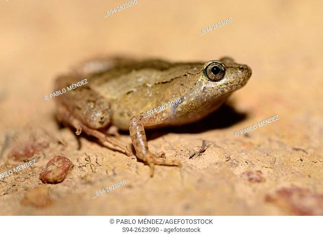 Painted chorus frog (Microhyla butleri) in a rice fields of Luang Namtha, north of Laos