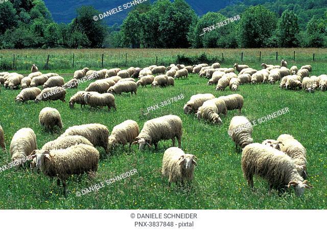 Pyrenees National Park, Pyrenees-Atlantiques, vallee d'Osseau, ewe flock on the plateau du Benou