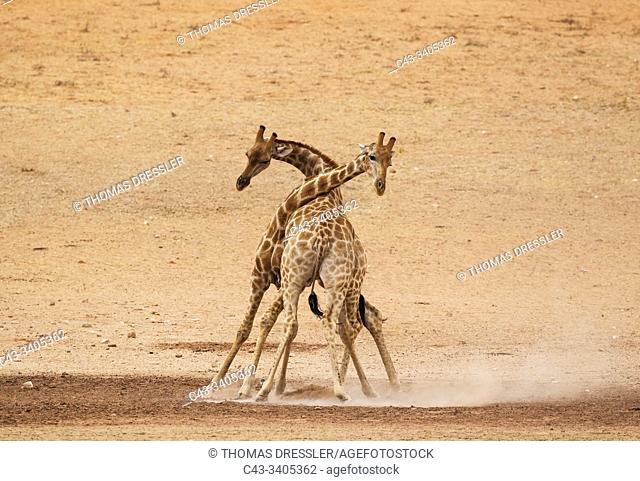 Southern Giraffe (Giraffa giraffa). Fighting males in the dry and barren Auob riverbed, raising a lot of dust. Kalahari Desert, Kgalagadi Transfrontier Park