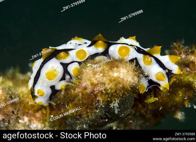 Juvenile Graeff's Sea Cucumber (Pearsonothuria graeffei) which mimics a poisonous Nudibranch (Phyllidia varicosa), Wainilu dive site, Rinca Island