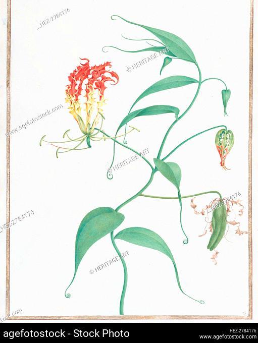 Gloriosa Superba (Climbing Lily), ca. 1660. Creator: Nicolas Robert