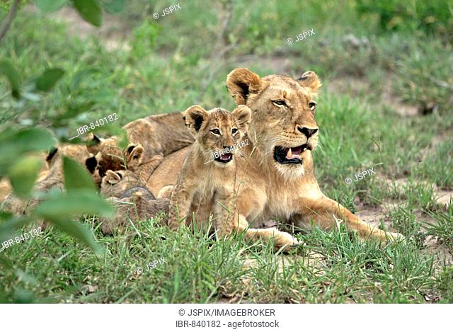 Lion (Panther leo), lioness with cubs, Sabi Sand Game Reserve, South Africa