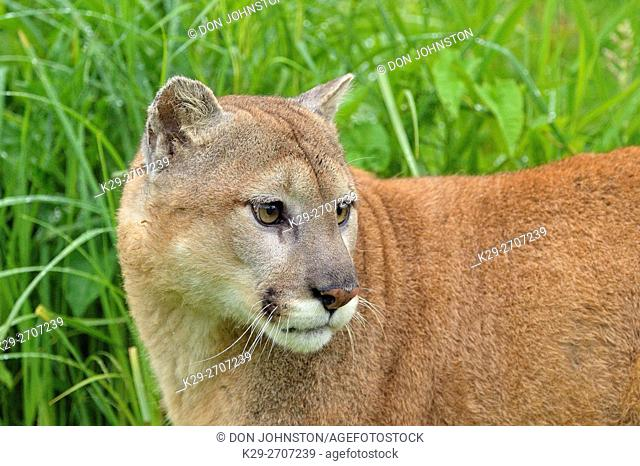 Mountain lion (Puma concolor) Captive raised, Minnesota wildlife Connection, Sandstone, Minnesota, USA