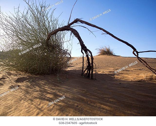 Tree in desert, Erg Chebbi, Morocco