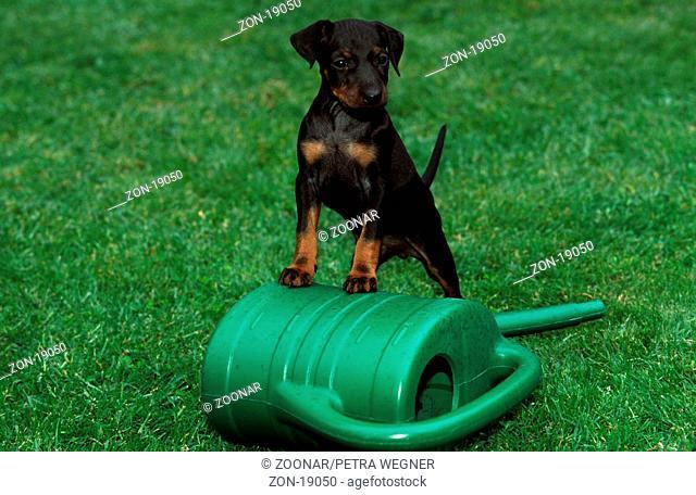 Manchester Terrier, puppy, 6 weeks old, with watering can  /  Manchester-Terrier, Welpe, 6 Wochen alt, mit Giesskanne  /  [Saeugetiere, mammals, animals