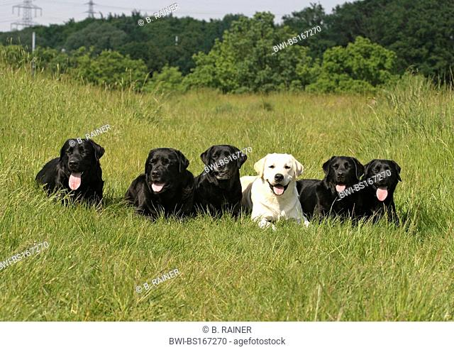 Labrador Retriever (Canis lupus f. familiaris), six individuals lying next to each other on a meadow