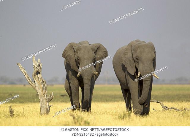 African Elephant (Loxodonta africana) - in the Savuti marsh. Chobe National Park, Botswana