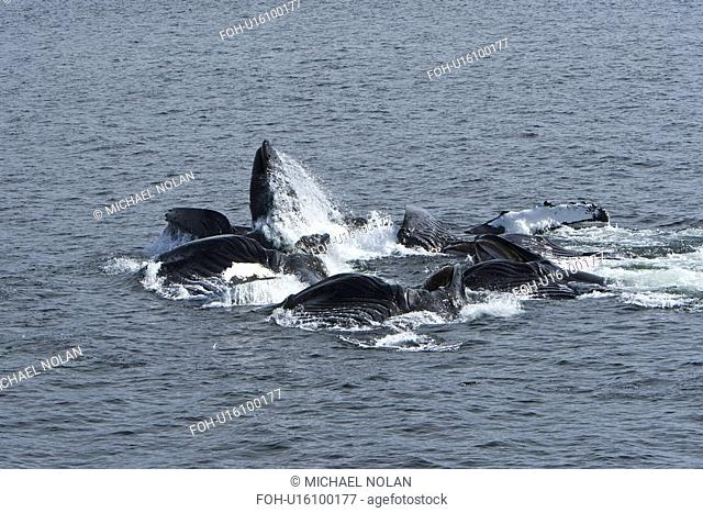 A group of adult humpback whales Megaptera novaeangliae co-operatively bubble-net feeding along the west side of Chatham Strait in Southeast Alaska, USA