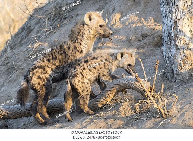 Africa, South African Republic, Mala Mala game reserve, Spotted hyena (Crocuta crocuta), young,
