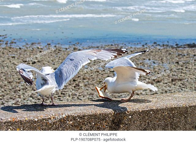 Two European herring gulls (Larus argentatus) on seawall fighting over scraps / leftovers from tourists at seaside resort