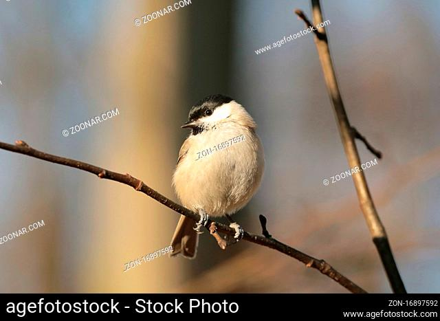 Marsh tit on a twig in the forest