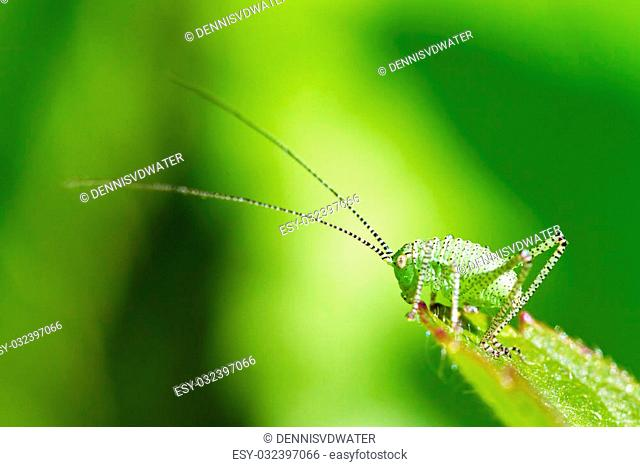 The speckled bush-cricket (Leptophyes punctatissima) nymph in the Netherlands