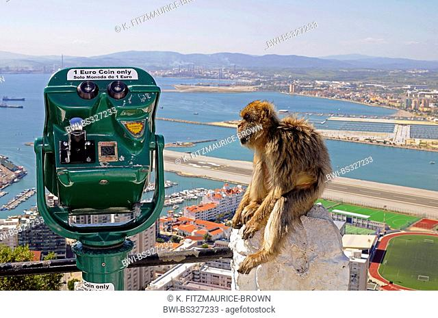 barbary ape, barbary macaque (Macaca sylvanus), sitting on the railing of the lookout point next to a coin telescope on the rock of Gibraltar, Gibraltar