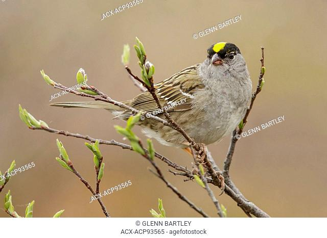 Golden-crowned Sparrow (Zonotrichia atricapilla) perched on a branch in Nome, Alaska