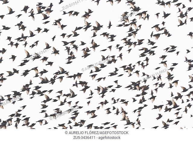 The European starling (Sturnus vulgaris), also known as European starling or common starling, is a species of passerine bird of the Sturnidae family native to...