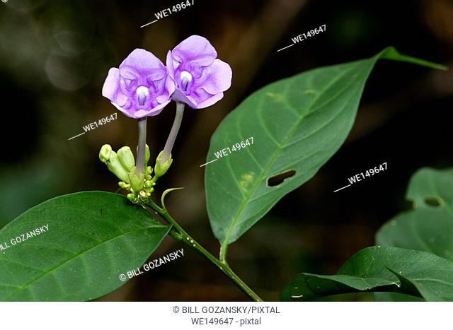 Purple Flower - Brunfelsia grandiflora species - Laguna del Lagarto Lodge, Boca Tapada, Costa Rica