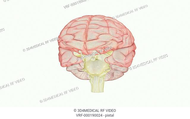 An animation showing the dorsal surface of the brainstem. The camera zooms in and rotates to show a posterior view of the brainstem