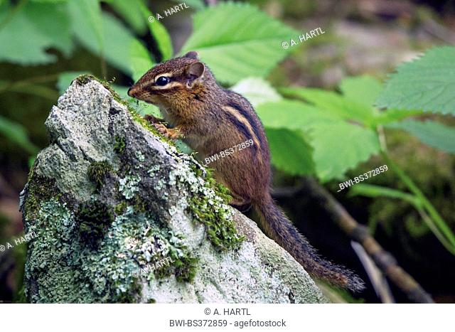 Eastern American chipmunk (Tamias striatus), sitting at a mossy stone, USA, Tennessee, Great Smoky Mountains National Park
