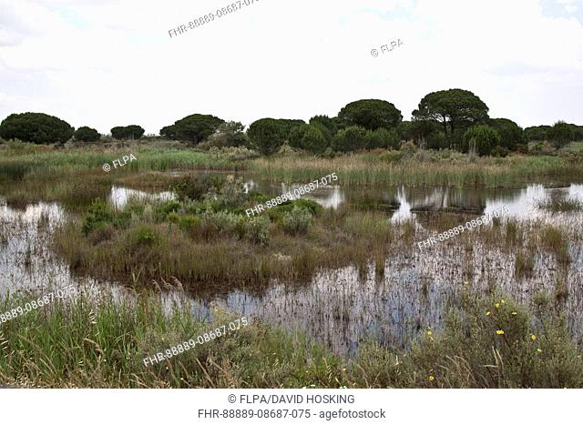 Marsh boggy habitat in the Coto Donana with some Stone Pine trees, Andalucia, Spain