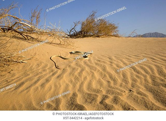 Braid Snake or Jan's Cliff Racer (Platyceps rhodorachis) is a species of snake found in Central Asia and the Middle East