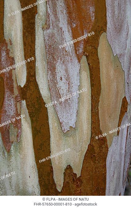 Orange-bark Myrtle Myrtus luma close-up of bark