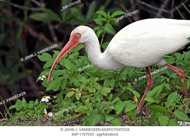 A White Ibis, Eudocimus albus, searching for food  Ding Darling National Wildlife Refuge, Sanibel Island, Florida, USA