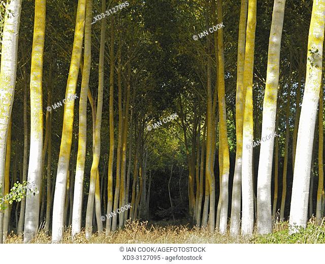 poplar, Populus, forest, Lot-et-Garonne Department, Nouvelle-Aquitaine, France