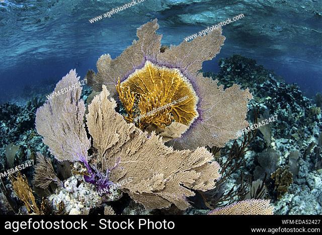 Caribbean Coral Reef with Venus Sea Fan, Gorgonia ventalina, Turneffe Atoll, Caribbean, Belize
