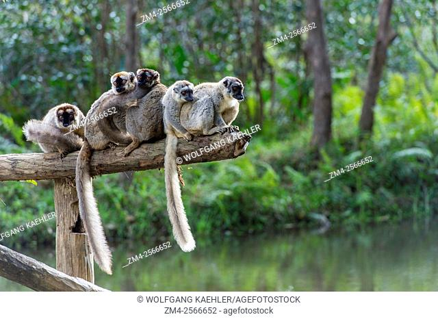 Red-fronted brown lemurs (Eulemur rufifrons) sitting on log, Lemur Island near Perinet Reserve, Madagascar