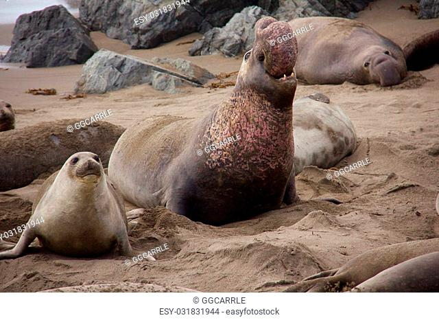 a battle scarred northern elephant seal bull and his mate on a beach near San Simeon, California, during mating and birthing season