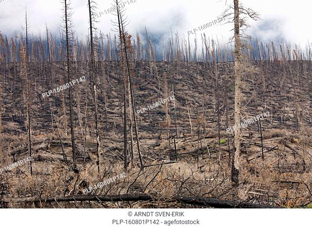 Charred tree trunks burned by forest fire, Jasper National Park, Alberta, Canada