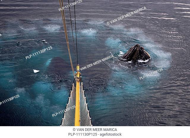 Humpback whales Megaptera novaeangliae bubble net feeding at Wilhelmina Bay, Antarctica