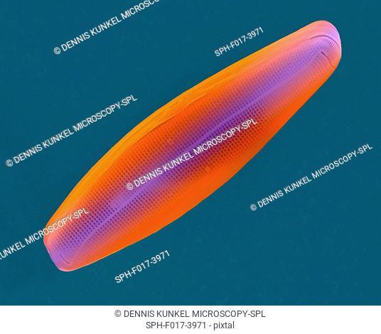 Coloured scanning electron micrograph (SEM) of salt water pennate diatom frustule (Navicula sp.). The genus Navicula is a genus of boat-shaped, single cell