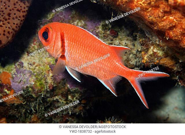 Blackbar soldierfish in the Caribbean Sea around Bonaire, Dutch Antilles